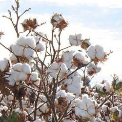Plan de coton, la matière première choisit pour les produits Pilleasy.